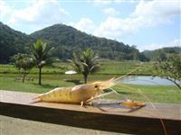 Pós Larva de Camarão Malásia