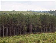 Vende-se 200 hectares de Pinus plantados e erva-mate