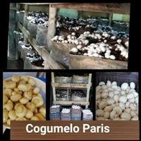 Cogumelo paris