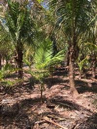 Coqueiral de Coco anão produzindo com 1,5 de madeira (tronco)