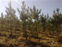 Arvores de pinus com 12 anos de idade