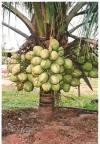Coco Verde & Coco Seco