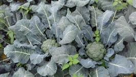 Venda de brocolis