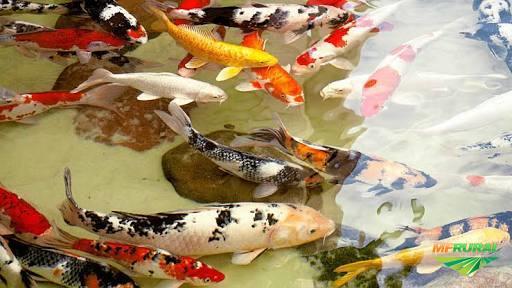 Carpas Ornamentais  Coloridas Koi 5-7cm