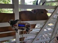 Balança de gado