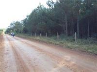 Reflorestamento de pinus