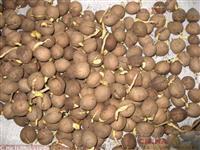 cíclades, encefalartos e sementes de strophantus
