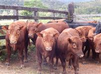 Venda de gado Red Angus