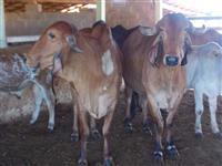 Vacas Gir Registradas e Paridas