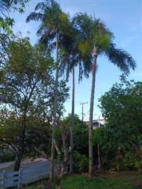Árvore Palmeira Adulta 15/20 Metros 03 Unidades