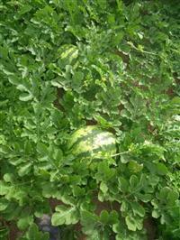 Vende-se melancia rolla premil