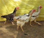 Ovos galados e pintinhos índio gigante severo