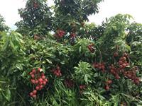 Lichia (fruta)
