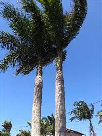 Palmeira adulta