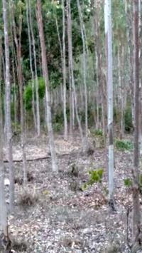 25 mil pés de eucaliptos