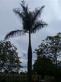 Palmeira Imperial de 6 metros