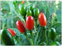 Pimenta comari verde/vermelha