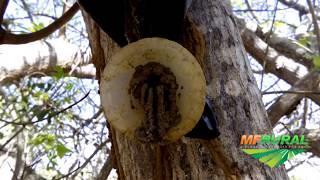 Colméias de abelhas Jataí na Isca