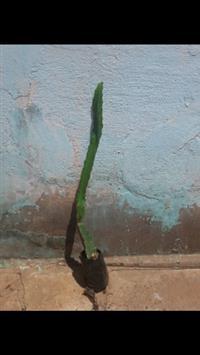 Pitaya branca
