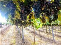 Vende-se uva bordo