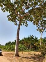 Madeira de mogno africano