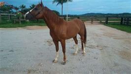 VENDO CAVALO (CAT DUAL JAZZ)  NETO HIGH BROW CAT AQHA-27
