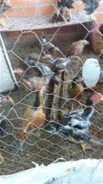 Venda de frangos caipira