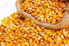 Compro milho ensacado ou a granel
