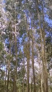 Plantio e Terra! 46 Hectares com 110.000 Pés de Eucalipto Grandis