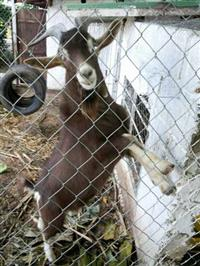cabra branca porte normal / cabrito chocolate porte pequeno