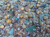 sementes de coqueiro Jerivá