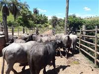 Bufalas murrah leiteiras