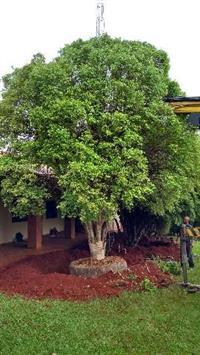 Árvores adultas jabuticaba jardinagem e nativas