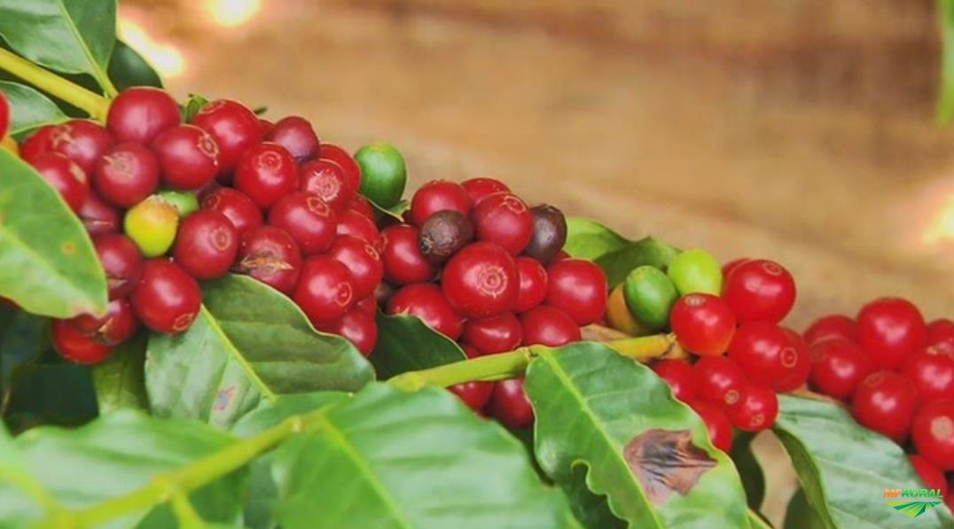 coffee for export / soybean / GMO / no GMO export/  Sugar IC 45 / Beet sugar