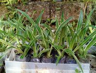 Mudas de agave angustifolia com 20 centímetros