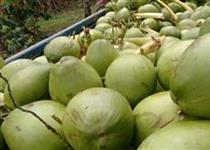Fornecimento de coco verde e coco seco