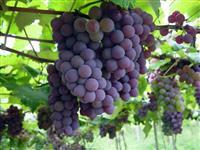 Vinhos Serra Gaúcha