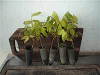 Vendo Mudas de Cambaru. E sementes.