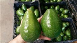 Compro Abacate Fortuna Geada Quintal e Margarida