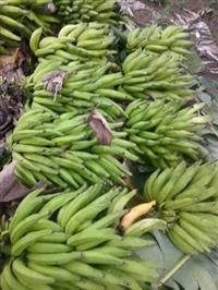 Vendo Banana da terra
