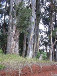 Compro Eucalipto Globulus (eucalipto-da-Tasmânia)
