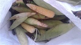 vendo 87 sacos de milho verde