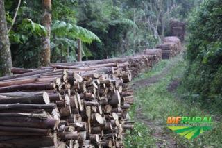 Vendo árvores de eucalipto 50.000 pés com 8 , 7, 6 anos