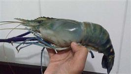 Camarão Gigante da Malásia- (lagostim-de-água doce )