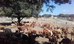 venda de cabra