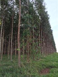 Vendo 29 Hectares de Eucalipto Urophyla 7 anos, e 12ha i144 clone