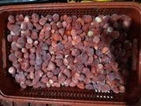 Morango Fruta Congelado