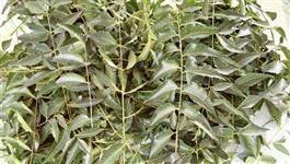 150 folhas naturais de NEEM NIM natural 100% orgânico in natura colhidas direto da árvore