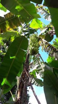 Banana da terra e da Prata