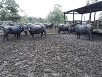 Lote de 26 vacas prenhes 80 mil